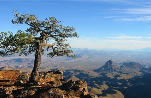 Big_Bend_National_Tree
