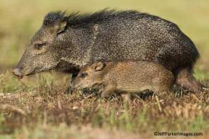 NOT-POSSIBLE-WITHOUT-GIMBAL_javelina_PARKER